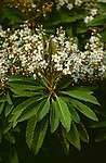 5054-CA Bronze Loquat, Eriobotrya deflexa, clusters of white flowers, large leaves, in Bakersfield, CA USA