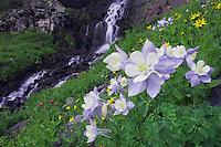 Waterfall and wildflowers in alpine meadow,Blue Columbine,Colorado Columbine,Aquilegia coerulea, Ouray, San Juan Mountains, Rocky Mountains, Colorado, USA