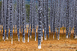 USA, Wyoming, Yellowstone National Park, calcified lodgepole pines