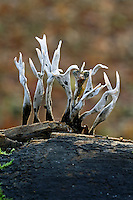 Geweihförmige Holzkeule, auf Totholz, Schlauchpilz, Xylaria hypoxylon, candlestick fungus, candlesnuff fungus, carbon antlers, stag's horn fungus
