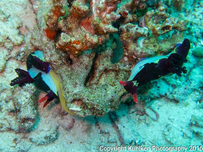 Nembrotha chamberlaini nudibranchs laying eggs, Bohol, Philippines 2016