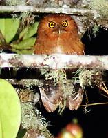 Santa Marta screech owl