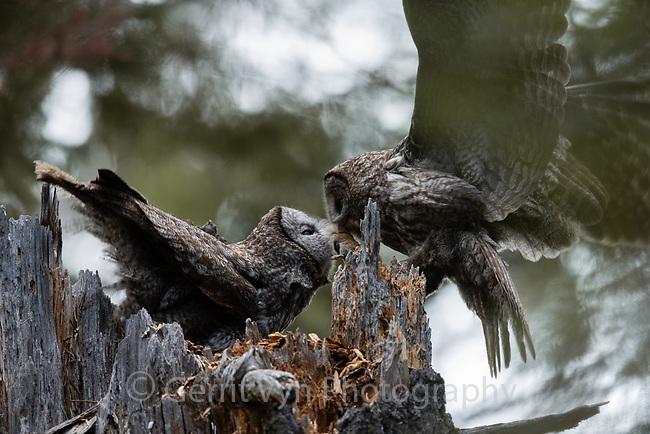 Great Gray Owl (Strix nebulosa) prey exchange at the nest. Jackson County, Oregon.