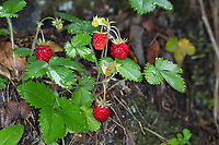 Wald-Erdbeere, Walderdbeere, Erdbeere, Wald-Erdbeeren, Walderdbeeren, Erdbeeren, Fragaria vesca, wild strawberry, woodland strawberry, Alpine strawberry, European strawberry, strawberry, strawberries, fraises des bois
