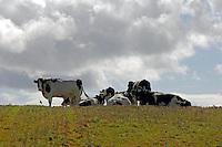 Dry Holstein cows on stubble field near Annestown, Waterford, Ireland.