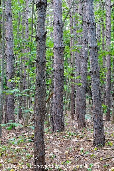 A Red Pine Forest ( Pinus resinosa ) in Albany, New Hampshire USA during the summer months.