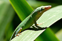 A Green Anole on a Water Lilly leaf in Holly Hill, FL.  (Photo by Brian Cleary/www.bcpix.com)