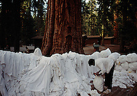 A park worker organizes mountains of laundry generated by tourists under the giant Sequoia trees.  The National Parks are loved to death by the public.