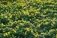 Soybean crop, Glycine max