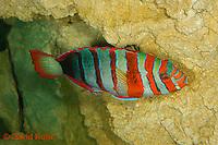0513-1001  Harlequin Tusk Wrasse, Harlequin Tuskfish, Choerodon fasciatus (syn. Lienardella fasciata) © David Kuhn/Dwight Kuhn Photography