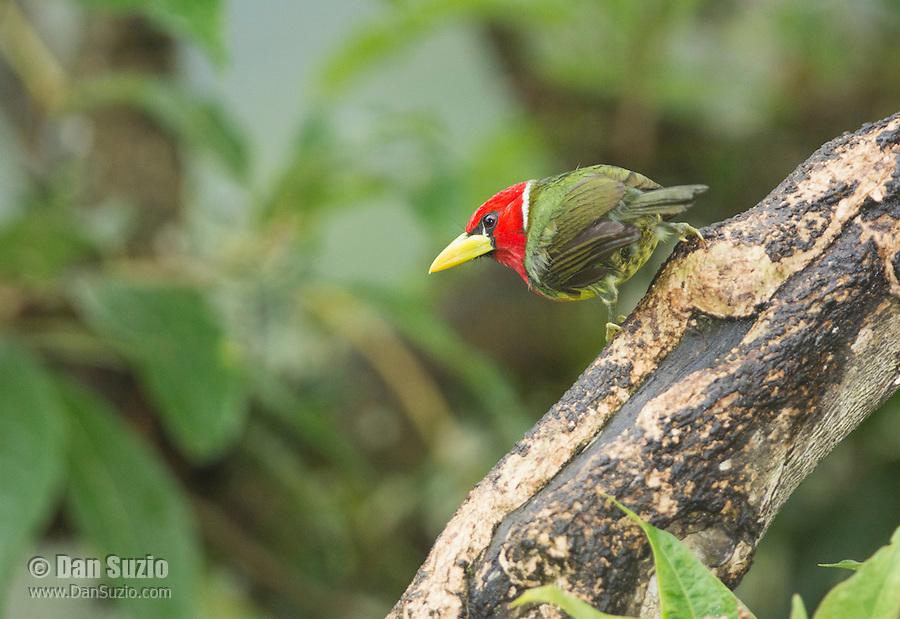 Male red-headed barbet, Eubucco bourcierii. Tandayapa Valley, Ecuador