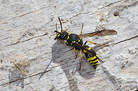 Mauer-Lehmwespe, Mauerlehmwespe, Lehmwespe, Weibchen, Ancistrocerus nigricornis, Solitäre Faltenwespen, Eumeninae, potter wasp, potter wasps, mason wasp, female, mason wasps, Lehmwespen