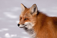 The red fox (Vulpes vulpes) is the largest of the true foxes. Red foxes are social animals, whose groups are led by a mated pair. Subordinates within a group are typically the young of the mated pair, who remain with their parents to assist in caring for new kits.