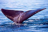 bowhead whale, fluke, Balaena mysticetus, Okhotsk Sea ( NW Pacific Ocean )