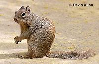 0613-1104  Rock Squirrel (Ground Squirrel), Pregnant Female, Spermophilus variegatus (Otospermophilus variegatus)  © David Kuhn/Dwight Kuhn Photography