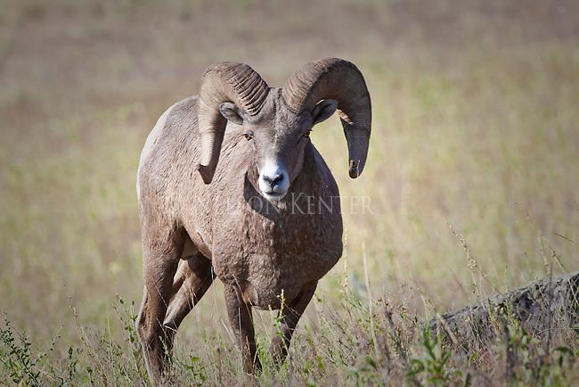 Trophy Bighorn Sheep ram in Montana