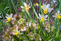Helleborus and dwarf daffodils Narcissus Jack Snipe, perennial flowers with spring flowering bulbs