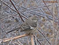 0218-07xx  Northern Mockingbird - Mimus polyglottos © David Kuhn/Dwight Kuhn Photography .