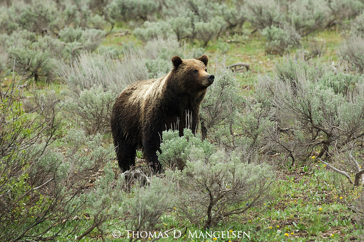 Grizzly No. 399 in Grand Teton National Park, WY