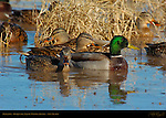 Mallard Male and Females, Drake and Hens, Bosque del Apache Wildlife Refuge, New Mexico