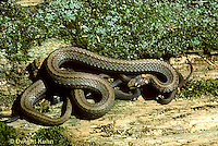 1R01-011z  Red-bellied Snake - mother with newly born young - Storeria occipitomaculata