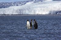 King Penguins wade in the shallows at Heard Island, Antarctica