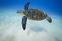 green sea turtle, Chelonia mydas, West Maui, Maui, Hawaii, USA, Pacific Ocean