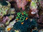 Nembrotha cristata nudibranch, Bohol, Philippines 2016