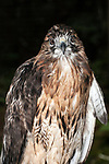 Red-tailed Hawk, 3/4 shot, vertical