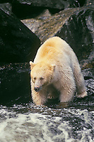 Kermode bear (Black Bear) fishing for salmon on stream on Princess Royal Island, British Columbia.
