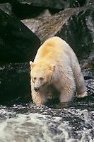 Kermode bear (Black Bear) fishing for salmon on stream on Princess Royal Island, British Columbia.