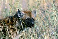 Gevlekte hyena (Crocuta crocuta)