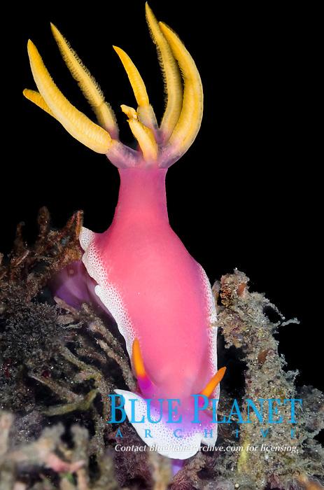 sea slug, or nudibranch, Hypselodoris apolegma, Lembeh Strait, North Sulawesi, Indonesia, Pacific Ocean