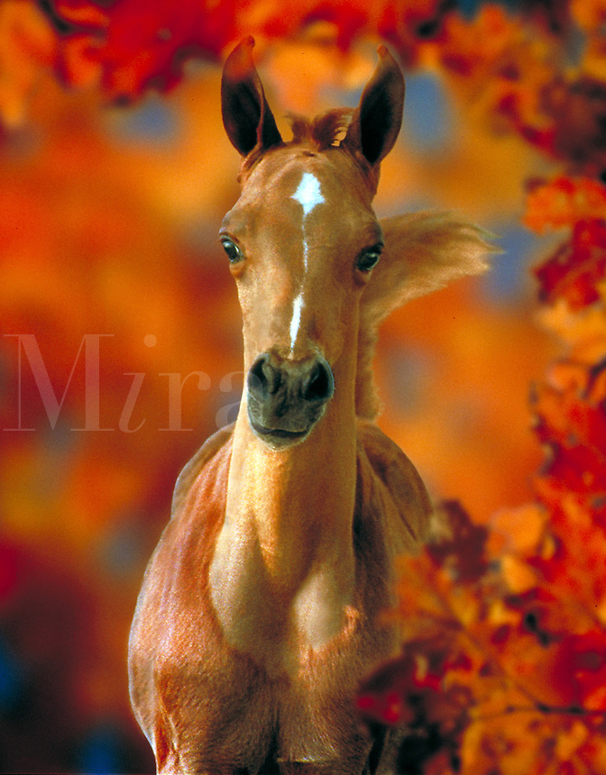Arabian foal flags tail surrounded by fall foliage