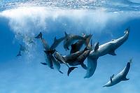 Atlantic spotted dolphins, Stenella frontalis, large group, Bahamas, Caribbean Sea, Atlantic Ocean