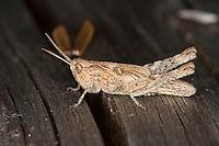 Grashüpfer Nymphe, Larve, Chorthippus  spec., grasshopper