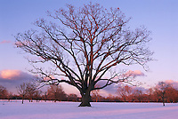 Mighty oak tree in stark winter evening in park space created by Frederick Law Olmsted in Buffalo.