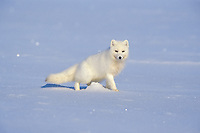 arctic fox, Vulpes lagopus, in winter colors on the 1002 coastal plain of the Arctic National Wildlife Refuge, Alaska