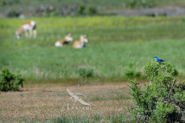 Male Mountain Bluebird (Sialia currucoides) with pronghorn antelope.  Western U.S., June.