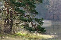pine tree at lake, Pinus sylvestris, Upper Bavaria, Germany