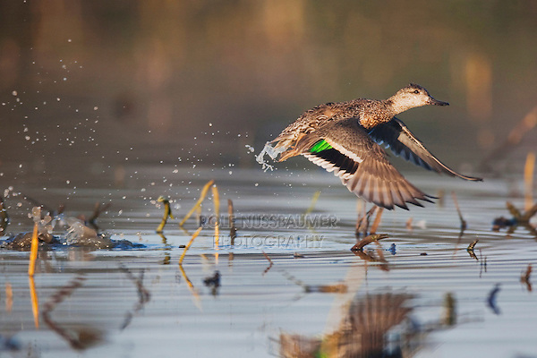Green-winged Teal (Anas crecca), female taking off, Sinton, Corpus Christi, Coastal Bend, Texas, USA