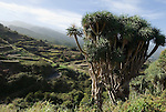 Spain, Canary Islands, La Palma, La Tosca near Barlovento: Dragos