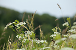 Europa, DEU, Deutschland, Baden-Wuerttemberg, Schwaebische Alb, Bissingen an der Teck, Albtrauf, Wiesen-Kerbel (Anthriscus sylvestris), Natur, Umwelt, Pflanzen, Pflanzenkunde, Botanik, Biologie, <br /> <br /> [Fuer die Nutzung gelten die jeweils gueltigen Allgemeinen Liefer-und Geschaeftsbedingungen. Nutzung nur gegen Verwendungsmeldung und Nachweis. Download der AGB unter http://www.image-box.com oder werden auf Anfrage zugesendet. Freigabe ist vorher erforderlich. Jede Nutzung des Fotos ist honorarpflichtig gemaess derzeit gueltiger MFM Liste - Kontakt, Uwe Schmid-Fotografie, Duisburg, Tel. (+49).2065.677997, ..archiv@image-box.com, www.image-box.com]