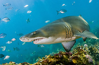 sand tiger shark or gray nurse shark or ragged tooth shark, Carcharias taurus, Cape south coast, South Africa, southern Africa