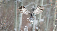 Great Grey Owl (Strix nebulosa), the largest owl species in North America, takes off in search of prey. Outside Edmonton, Alberta, Canada.