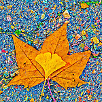 Colorful turning leaves in autumn, Peek Hill, Jackson, Calif.<br /> <br /> Ginko and sycamore leaves in the street