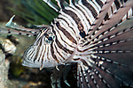 Red Lionfish swimming left