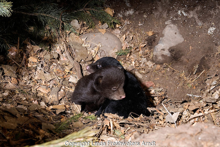 Black bear (Urs americanus) cubs in a den