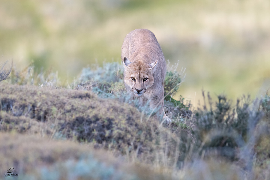 "Young, wild Puma (Puma concolor) checks us out from behind the bushes. Local guides call him ""Simba"" and we saw him as a cub in 2018. After napping up on the hill, Simba noticed a Guanaco who had wandered almost directly below him. When Simba tried to sneak closer to the Guanaco he was quickly discovered. Here he's either slinking away from the Guanaco or showing us how stealthy he could be."