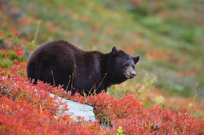 American Black Bear (Ursus americana) foraging for alping berries during fall. Cascade Mountains, Washington. October.